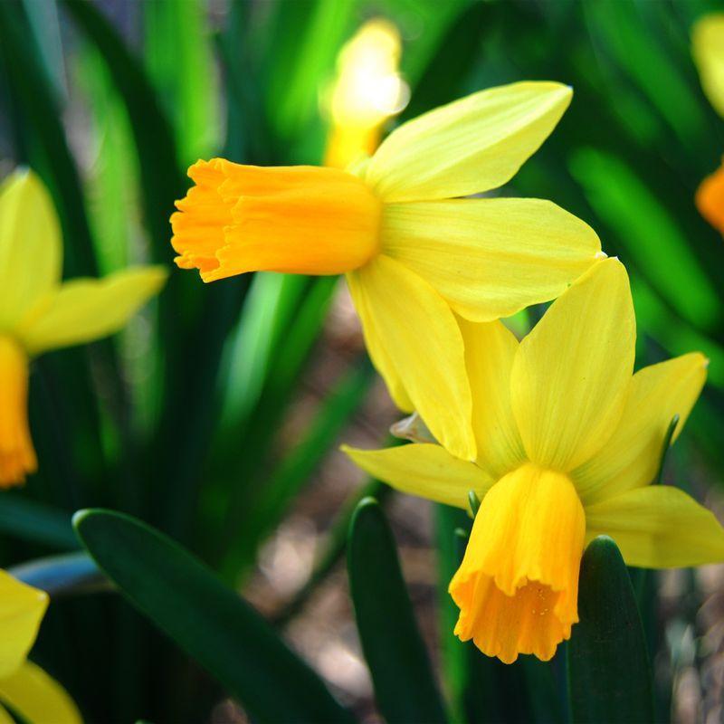 Daffodillssq