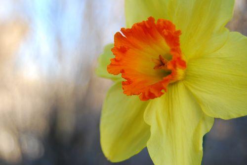 Daffodilbokeh