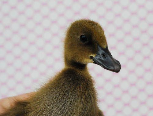 Duckling3