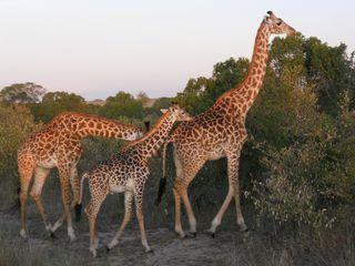 Masai Maria 156