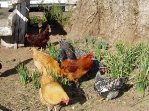 Chickensmilling