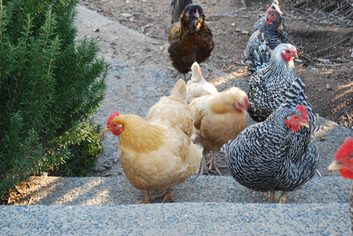 Chickens13108a