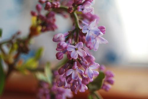 Lilacs_2