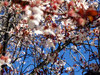 Blossomssm