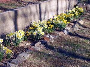 Daffodils2007