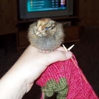 Knittingwchickens2