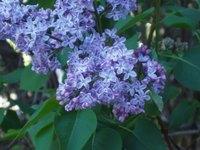 Lilacs2006