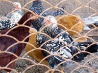 Snowchickens