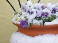 Snowyviolas